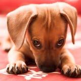 Het puppy van de tekkel Stock Afbeeldingen