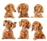 Het puppy van de tekkel stock foto