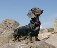 Het puppy van de tekkel, 9 maanden oud, op steen Royalty-vrije Stock Foto