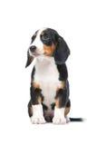 Het puppy van de tekkel, Westfaalse Dachsbracke Royalty-vrije Stock Afbeelding