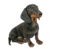 Het puppy van de tekkel zit Royalty-vrije Stock Fotografie