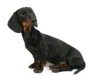 Het puppy van de tekkel zit Stock Foto's