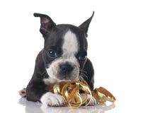Het puppy van de Terriër van Boston Stock Afbeeldingen