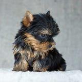 Het Puppy van de Terriër van Yorkshire Stock Afbeelding