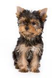 Het puppy van de Terriër van Yorkshire Royalty-vrije Stock Afbeeldingen