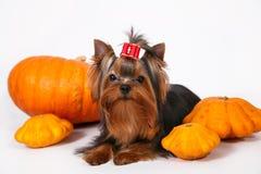 Het puppy van de Terriër van Yorkshire op een witte achtergrond Royalty-vrije Stock Afbeelding