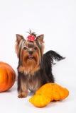 Het puppy van de Terriër van Yorkshire op een witte achtergrond Royalty-vrije Stock Fotografie
