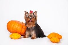 Het puppy van de Terriër van Yorkshire op een witte achtergrond Stock Fotografie