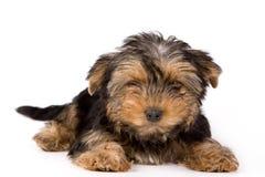 Het puppy van de Terriër van Yorkshire (Yorkie) Stock Afbeelding