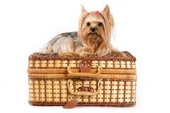 Het puppy van de Terriër van Yorkshire (Yorkie) Stock Afbeeldingen