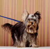 Het Puppy van de Terriër van Yorkshire Stock Foto's