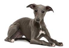 Het puppy van de whippet, 6 maanden oud, het liggen Stock Foto