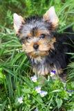 Het puppy van de Yorkshire terriër Stock Afbeelding
