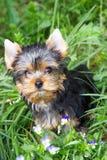 Het puppy van de Yorkshire terriër Stock Afbeeldingen