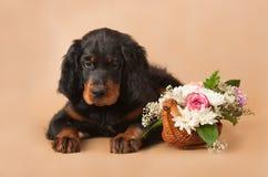 Het puppy van de zetter Stock Foto's