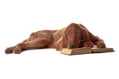 Het puppy van de zetter met glazen en boek. Geïsoleerd_ op wit stock fotografie