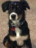 Het puppy van de zitting Stock Afbeelding