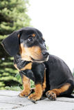 Het puppy van de zitting Royalty-vrije Stock Fotografie