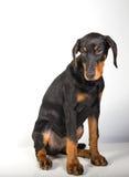 Het Puppy van Dobermanpincher Stock Afbeelding