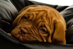 Het puppy van Dogue DE Bordeaux Stock Fotografie