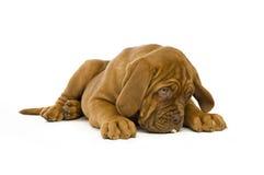 Het puppy van Dogue DE Bordeaux Stock Foto's