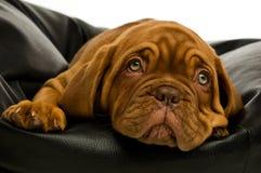 Het puppy van Dogue DE Bordeaux Stock Foto