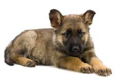 Het puppy van Duitse herders Royalty-vrije Stock Afbeeldingen