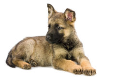Het puppy van Duitse herders Stock Fotografie