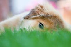 Het puppy van Elo kijkt leuk Royalty-vrije Stock Afbeelding