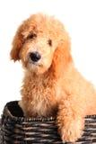 Het puppy van Goldendoodle royalty-vrije stock foto's