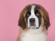 Het puppy van heilige bernard Royalty-vrije Stock Afbeeldingen