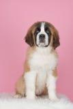Het puppy van heilige bernard Royalty-vrije Stock Foto