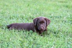 Het Puppy van het chocoladelaboratorium Royalty-vrije Stock Fotografie