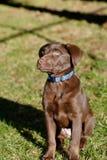 Het puppy van het chocoladelaboratorium in het park Royalty-vrije Stock Foto