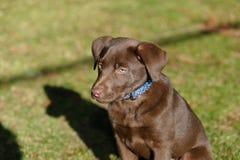 Het puppy van het chocoladelaboratorium in het park Royalty-vrije Stock Fotografie