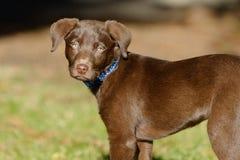 Het puppy van het chocoladelaboratorium in het park Royalty-vrije Stock Afbeeldingen
