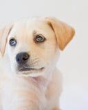 Het puppy van het laboratorium Stock Afbeelding