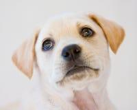 Het puppy van het laboratorium Royalty-vrije Stock Afbeelding