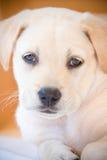 Het puppy van het laboratorium Royalty-vrije Stock Foto
