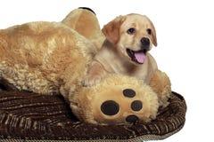 Het Puppy van het laboratorium Royalty-vrije Stock Fotografie