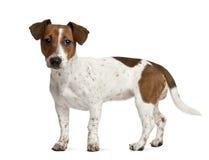 Het puppy van Jack Russell tegen witte achtergrond stock afbeelding