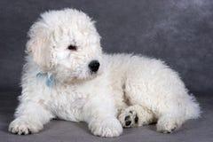 Het puppy van Komondor royalty-vrije stock foto's
