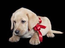 Het puppy van Labrador royalty-vrije stock afbeeldingen