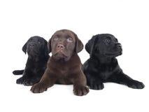 Het puppy van Labrador stock afbeeldingen