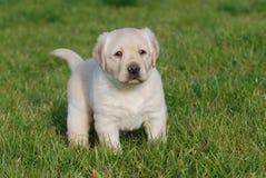Het puppy van Labrador royalty-vrije stock fotografie