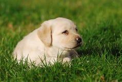 Het puppy van Labrador stock foto