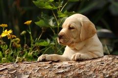 Het puppy van Labrador in de tuin royalty-vrije stock foto's