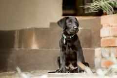 Het Puppy van Labrador door Stappen Stock Afbeeldingen