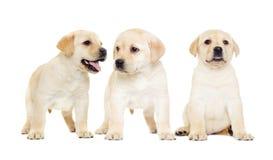 Het puppy van Labrador, het kijken Stock Fotografie