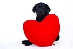 Het puppy van Labrador met rood hart Stock Afbeelding